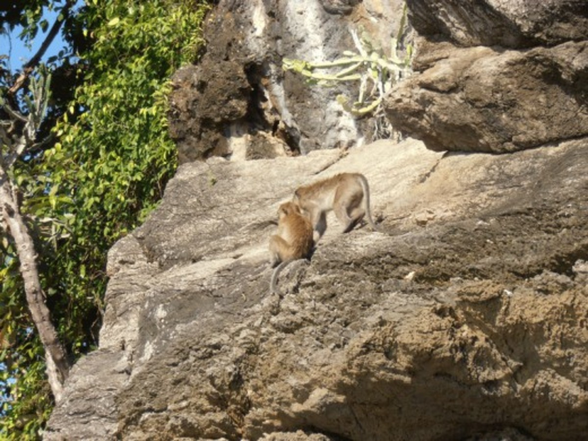 On the lookout. Macaques are social animals and share the responsibility of looking out for danger.