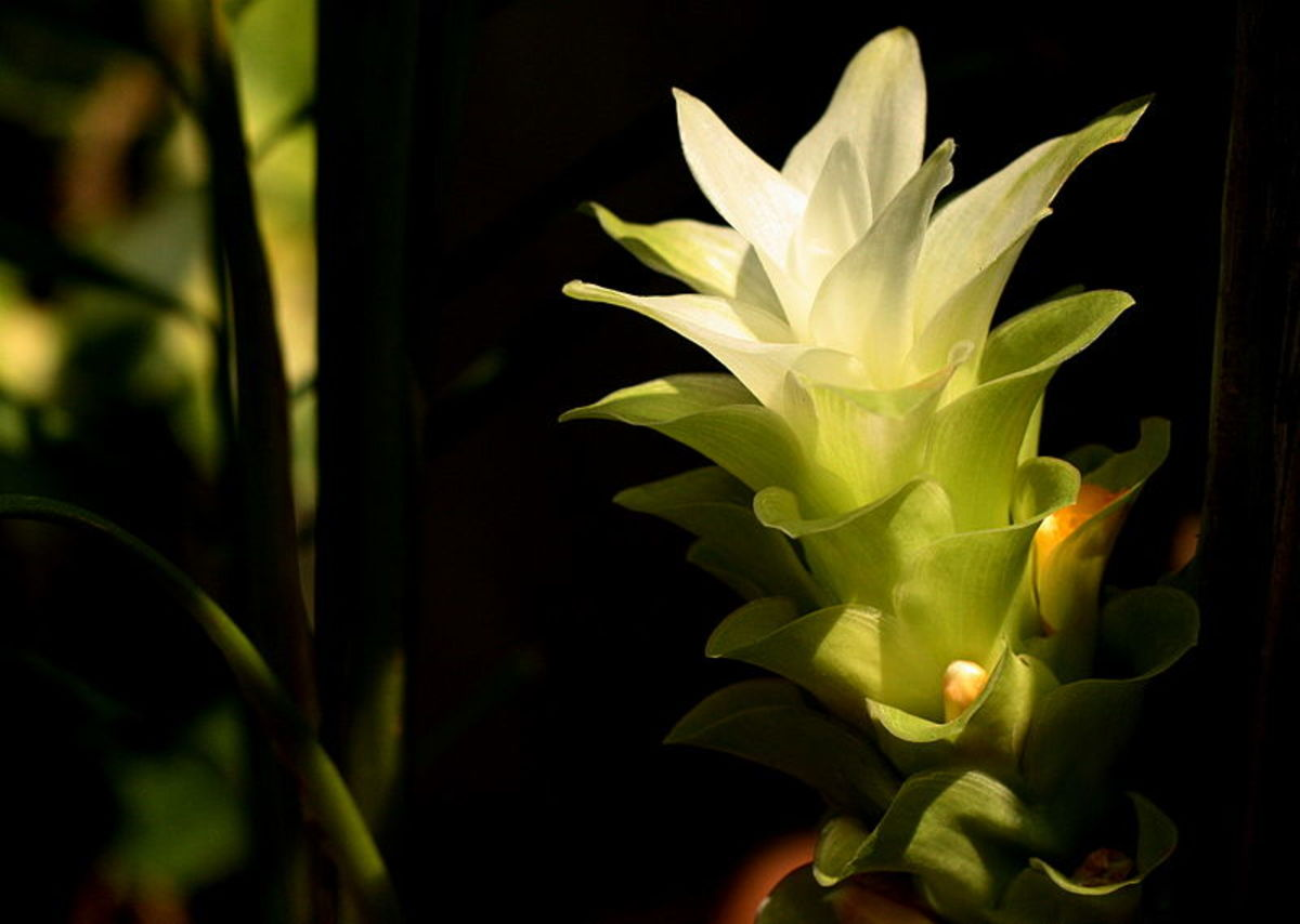 This is what the beautiful turmeric flower looks like. The actual turmeric rhizome is located underground in the soil like a root.