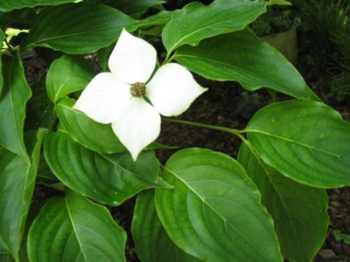 Japanese Dogwood Blossom