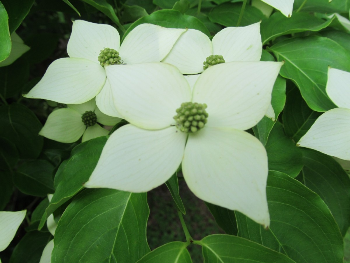 Our Japanese Dogwood Tree in full bloom