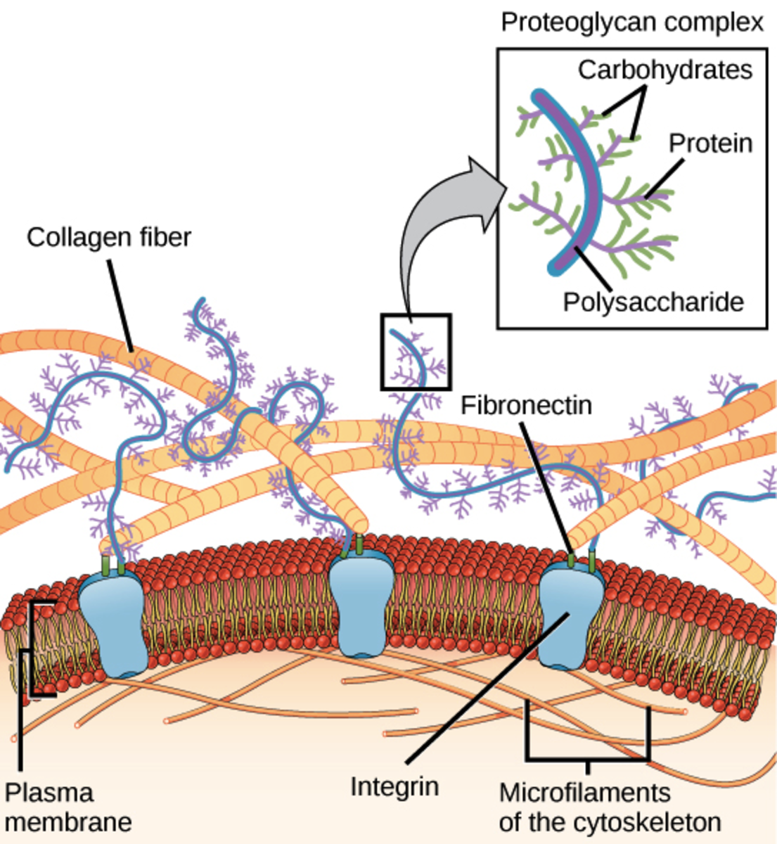 A representation of the cell or plasma membrane, fibronectin, and the extracellular matrix