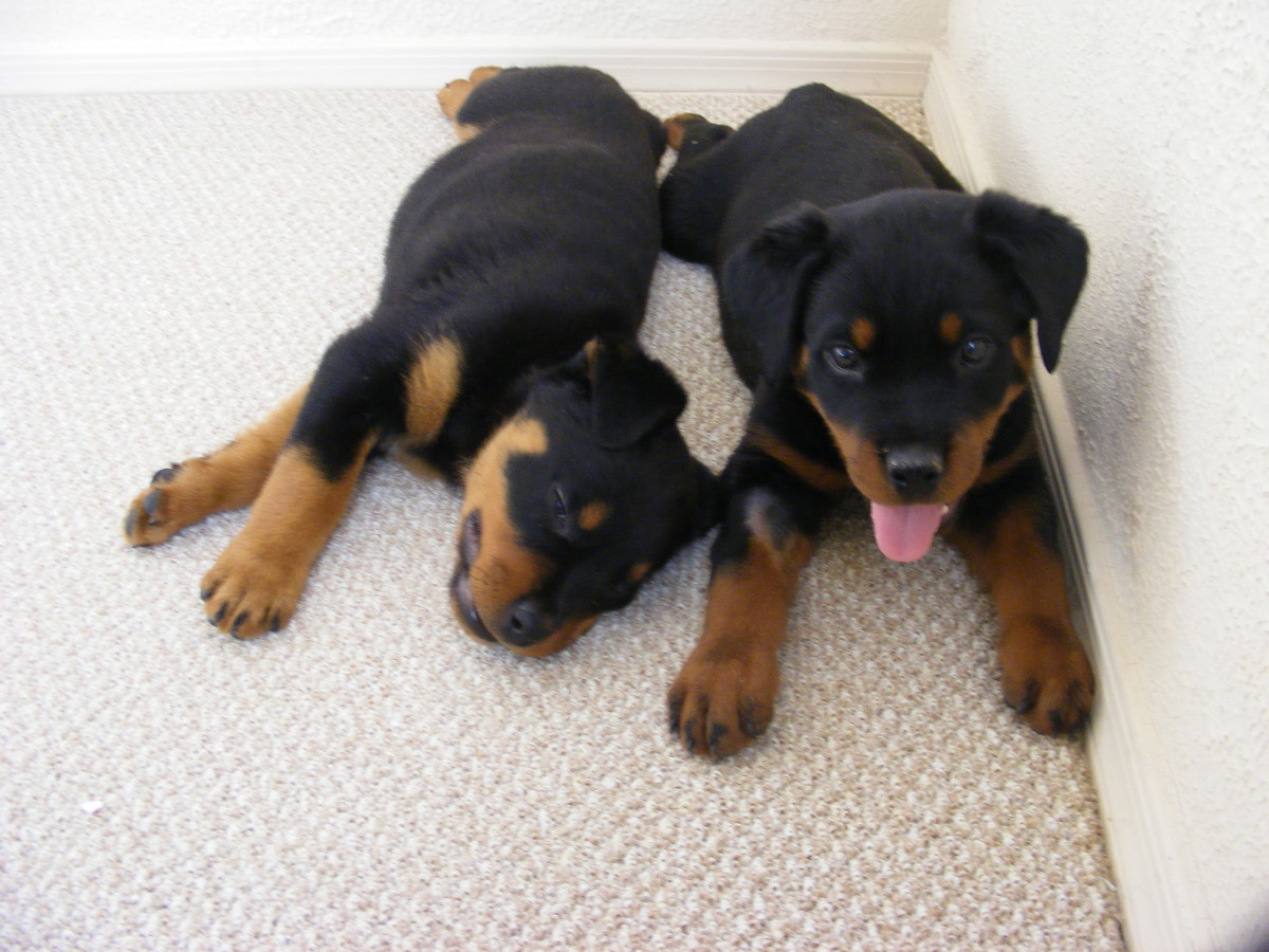 Rottweilers: a docile, family oriented breed