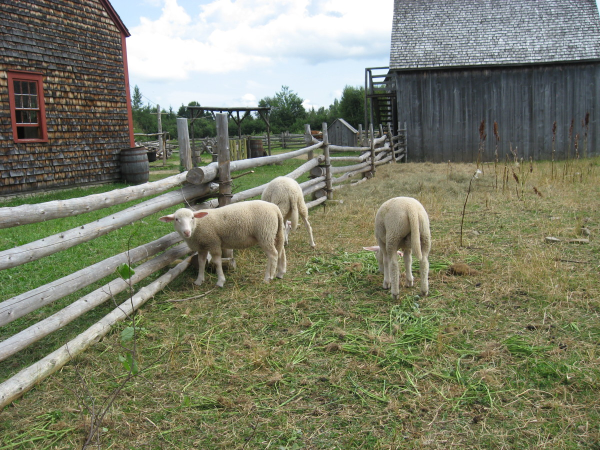 Sheep photographed at a New Brunswick historic village. This is what the Allain family might have had.