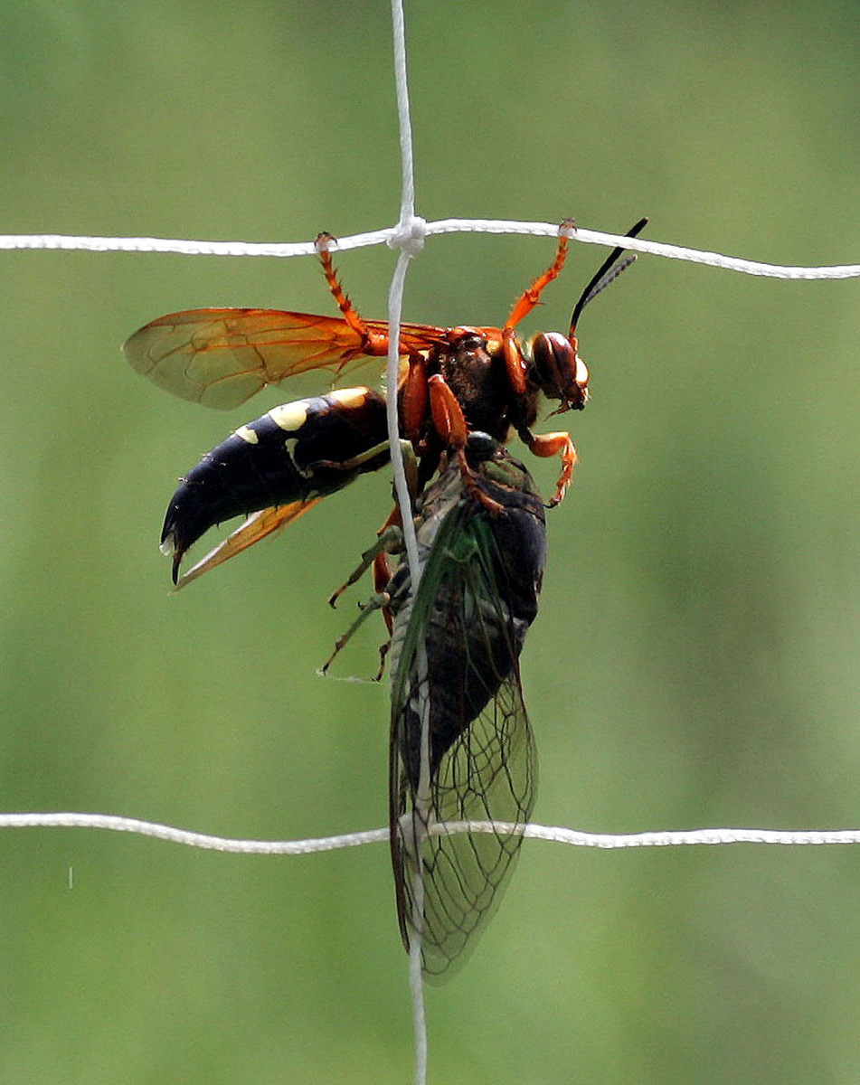 A cicada killer wasp, killing a cicada
