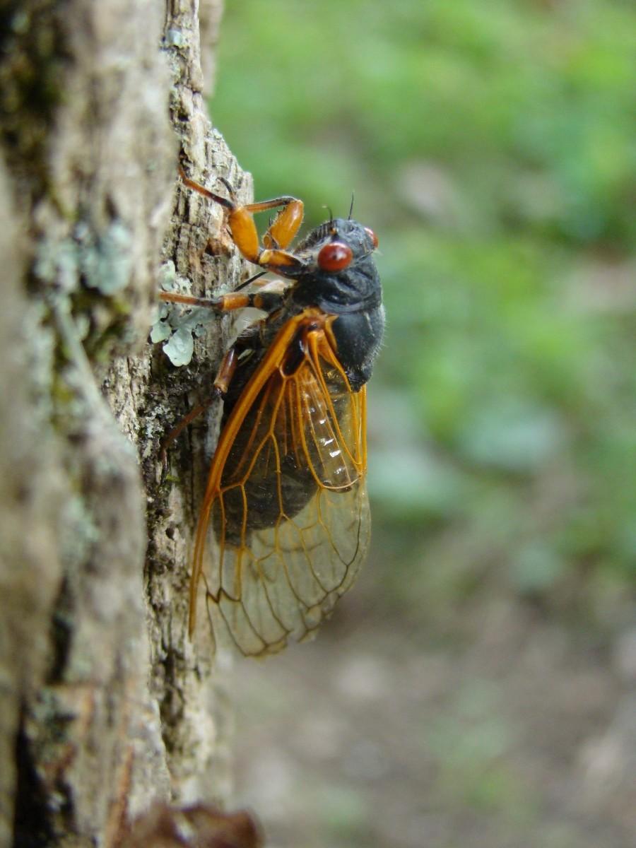 brood-x-cicada-facts