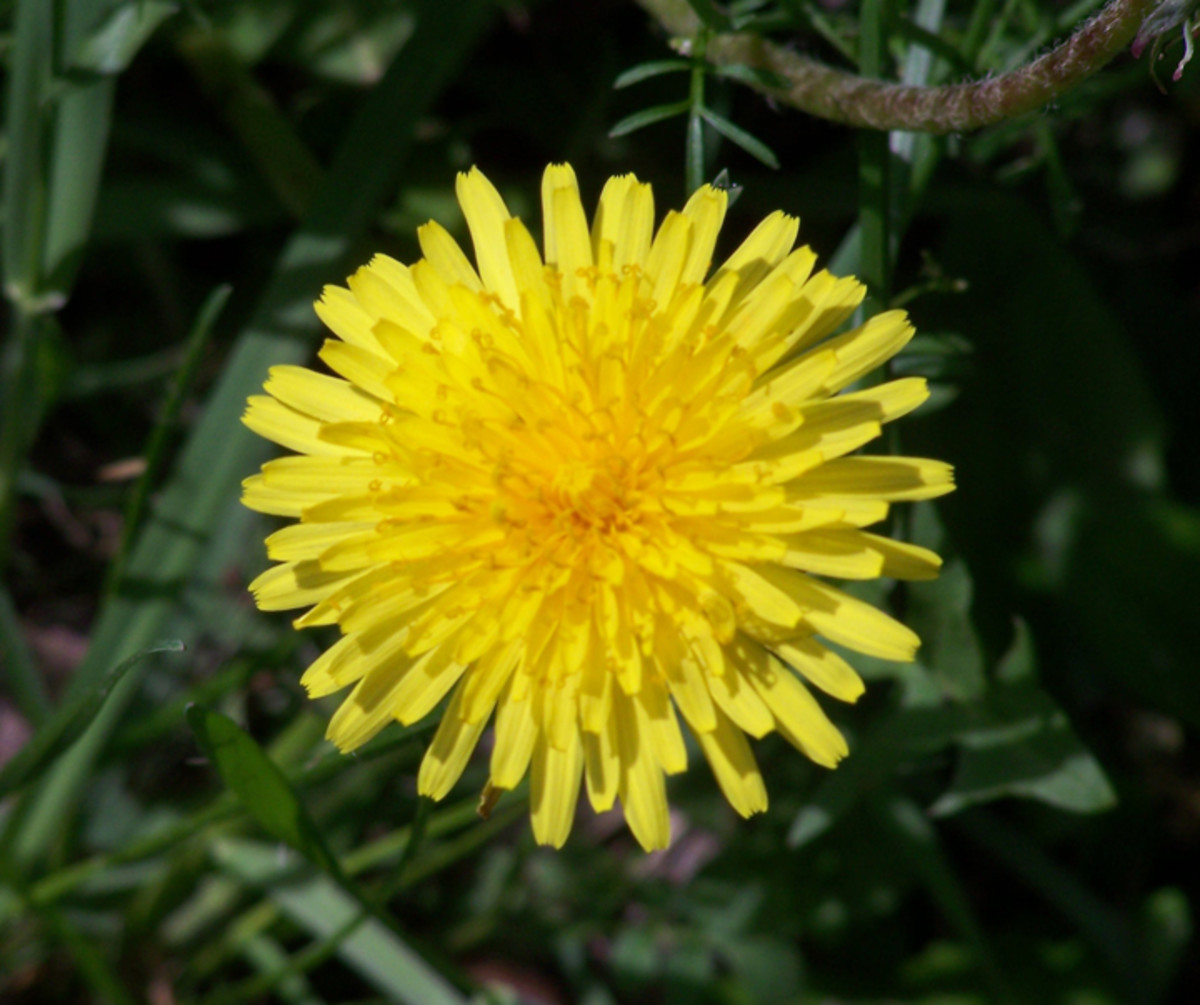 Important Health Uses for Dandelion