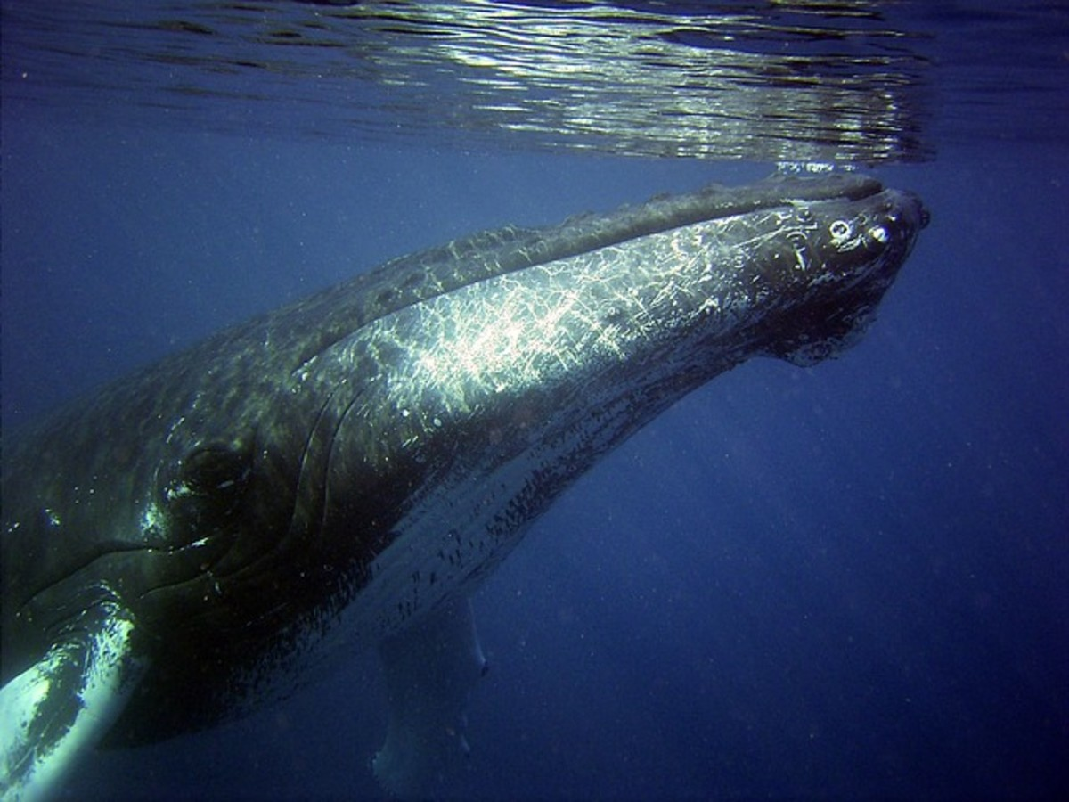 Humpback Whale, song made famous in 1970 and added to the US National Registry.