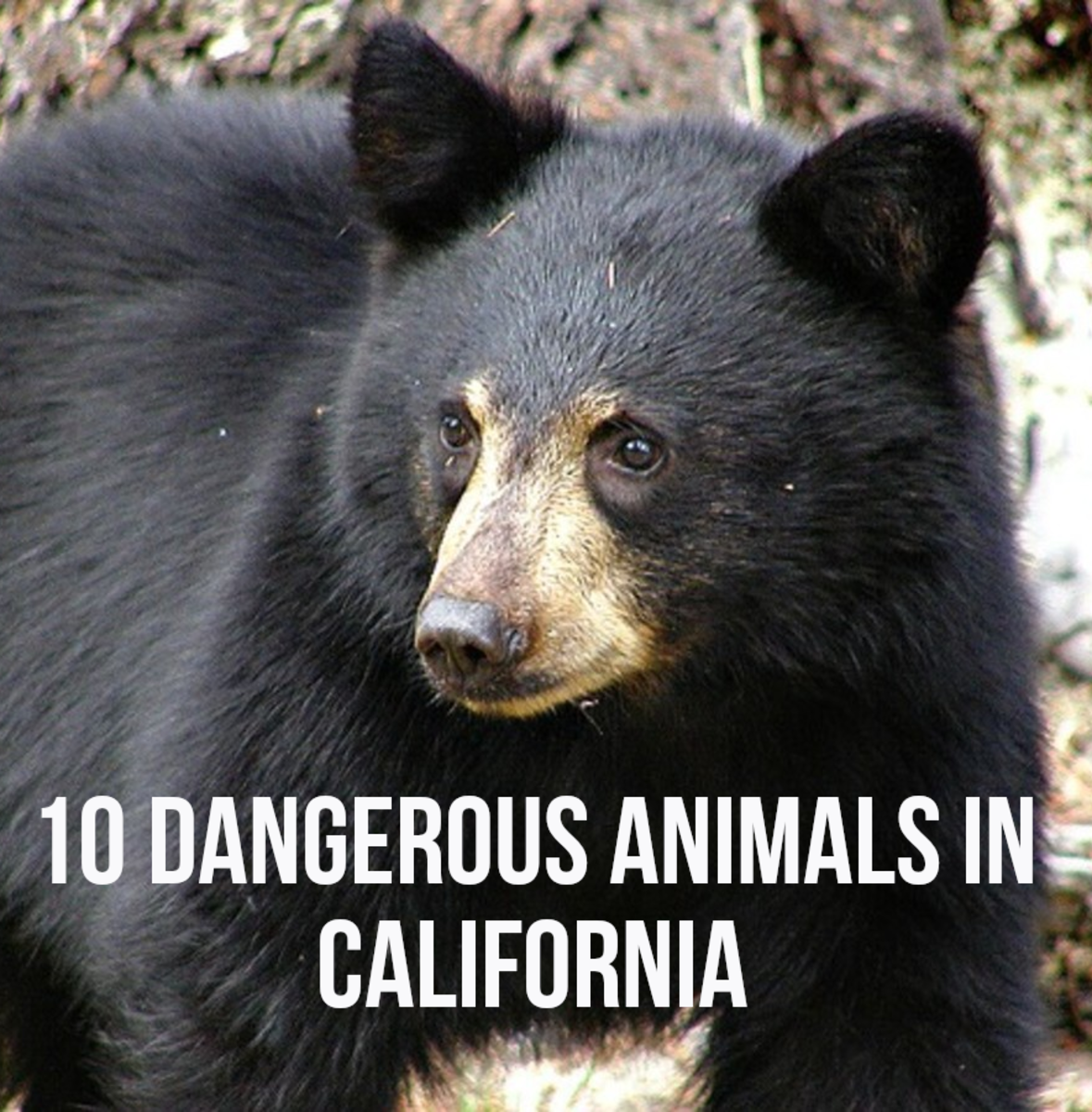 Top 10 Most Dangerous Animals in California