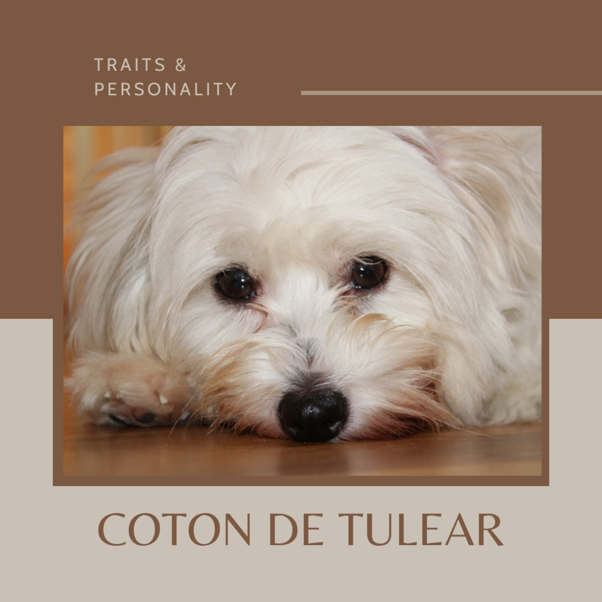 This article will provide information on the intelligence, temperament, and personality of the Coton de Tulear breed of dogs.
