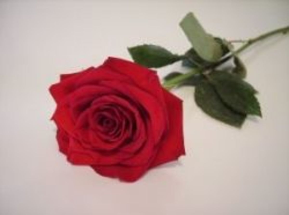 Single red rose, photo by Josee Holland, SXC
