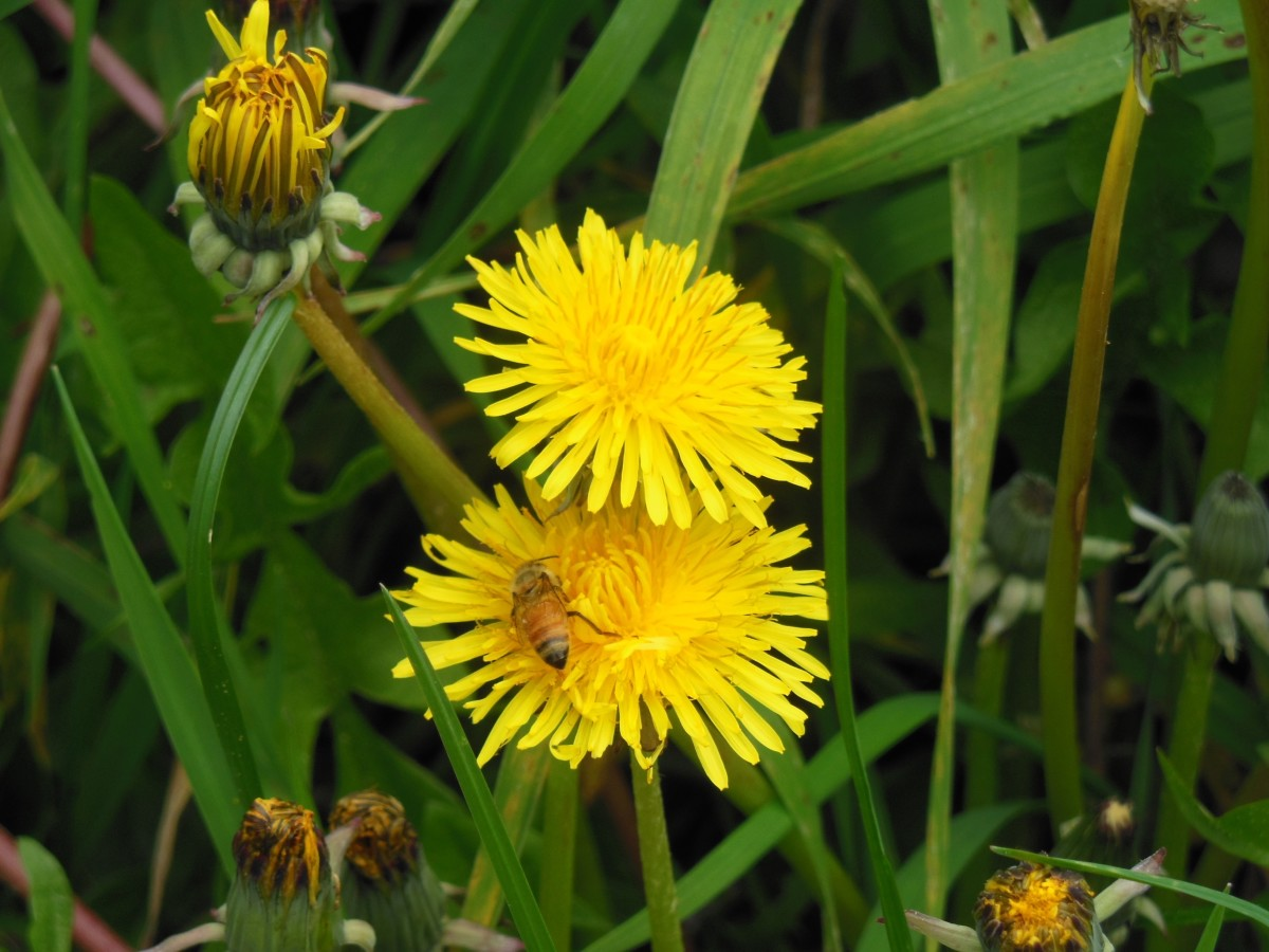 Growing and Using Dandelions