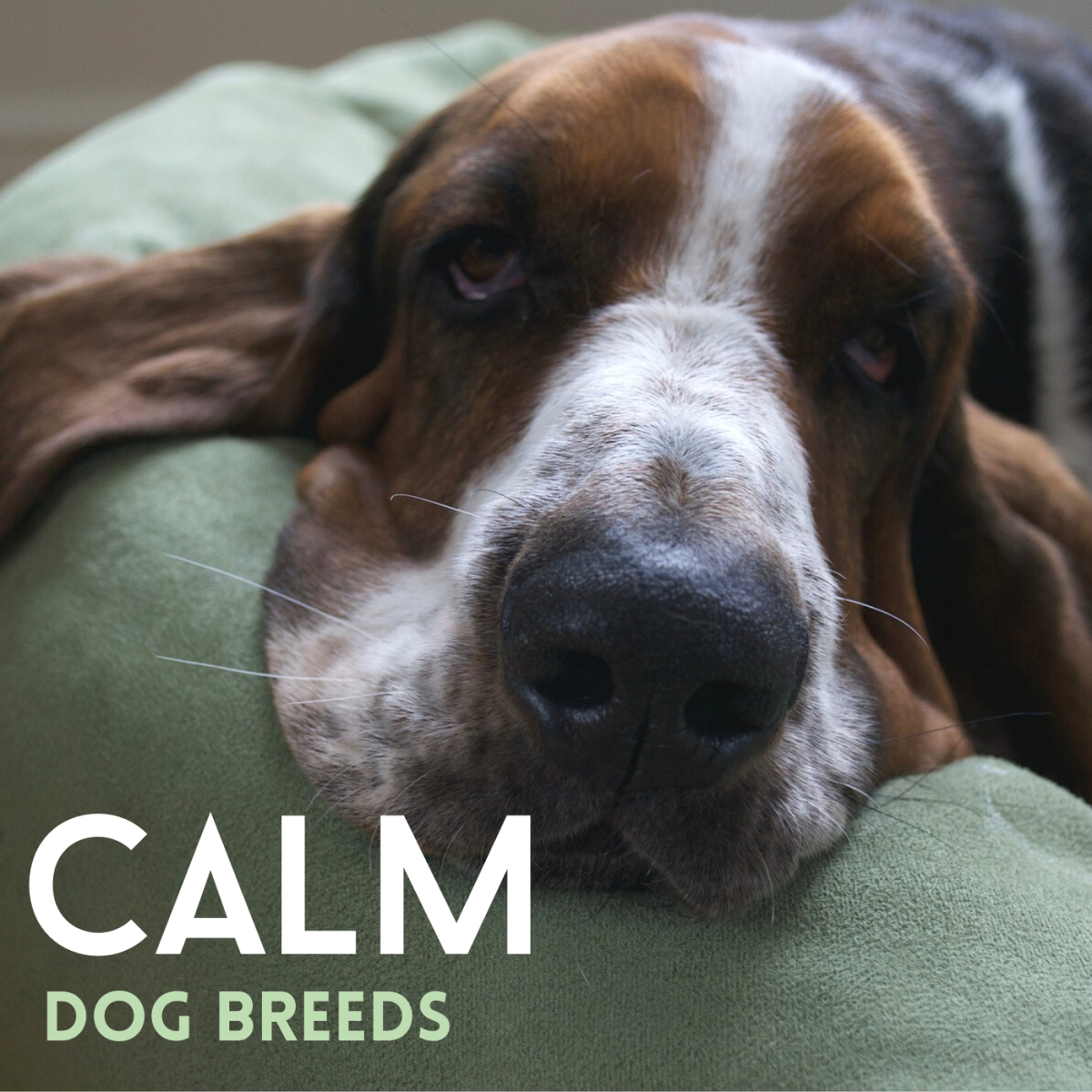 Five Great, Calm Dog Breeds