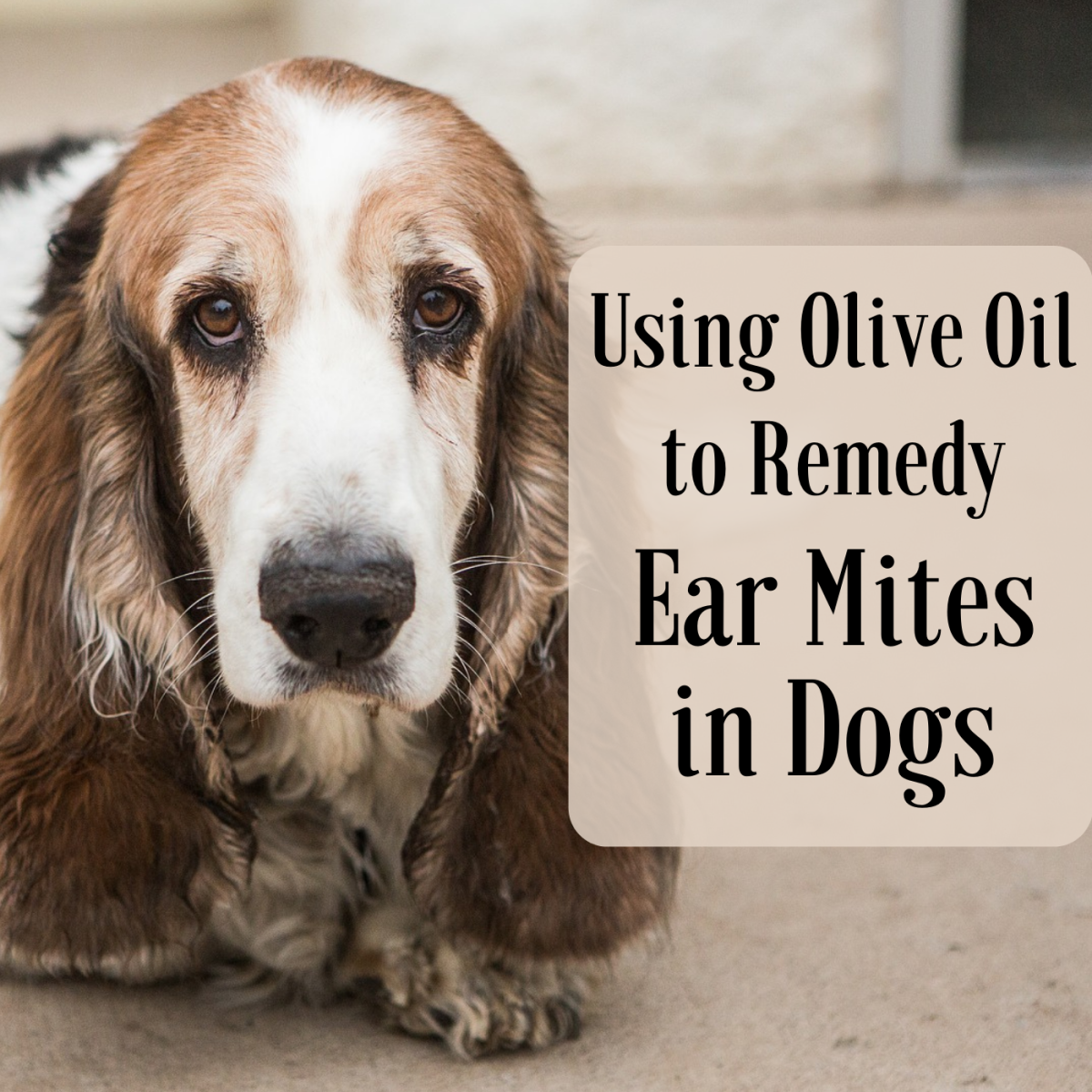 You can use olive oil to kill your dog's ear mites.