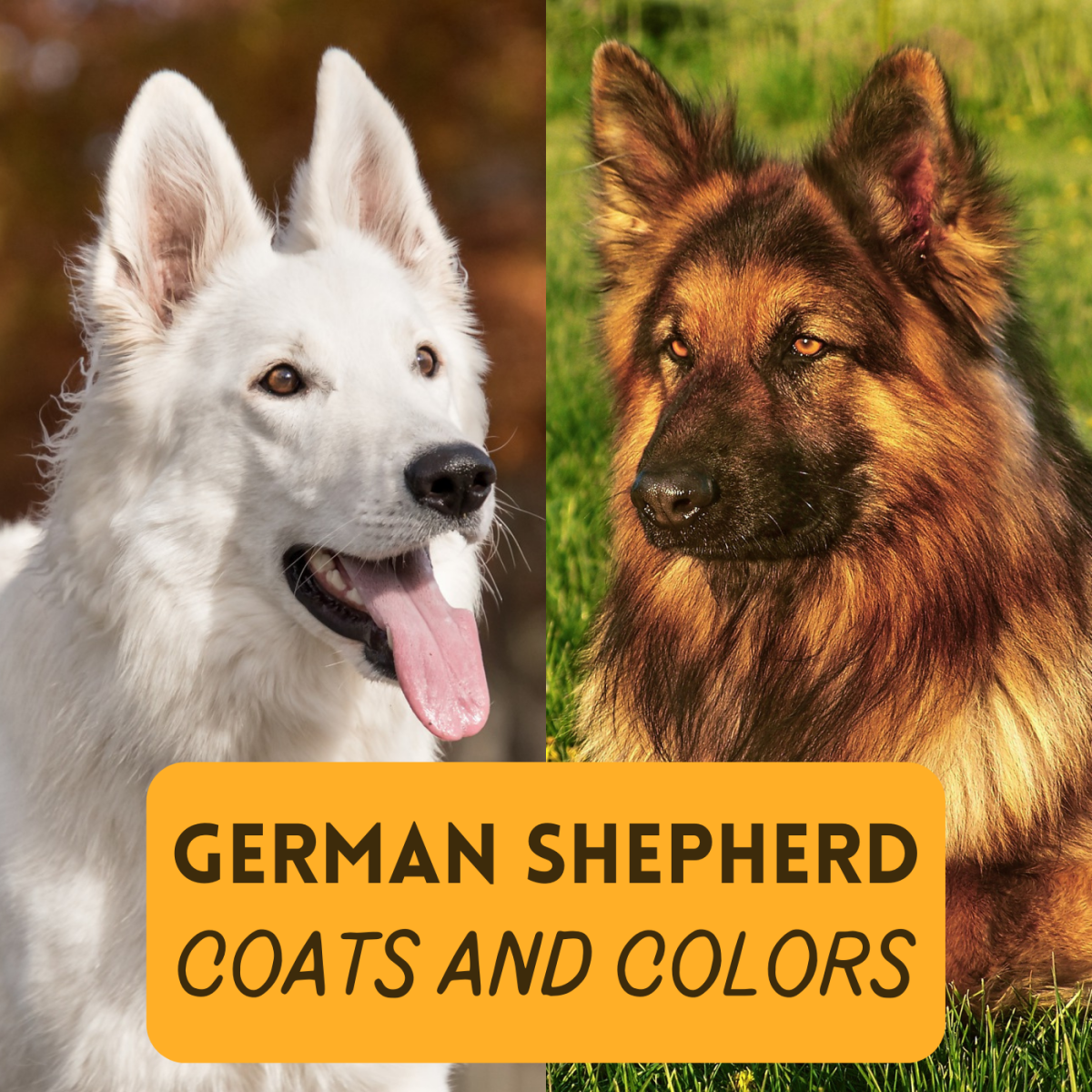 Discover the wide variety of coat types and colors for German Shepherd dogs!