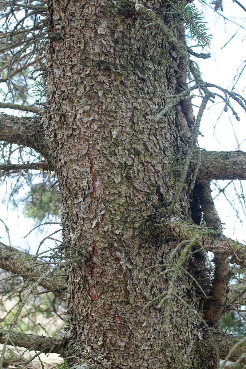 Blue Spruce bark