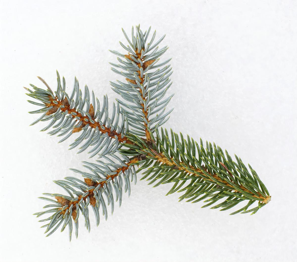 Blue Spruce branchlet