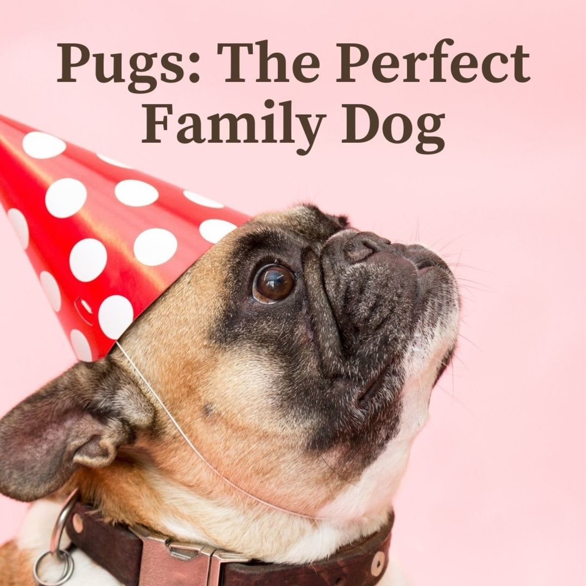 Why Pugs make great family pups