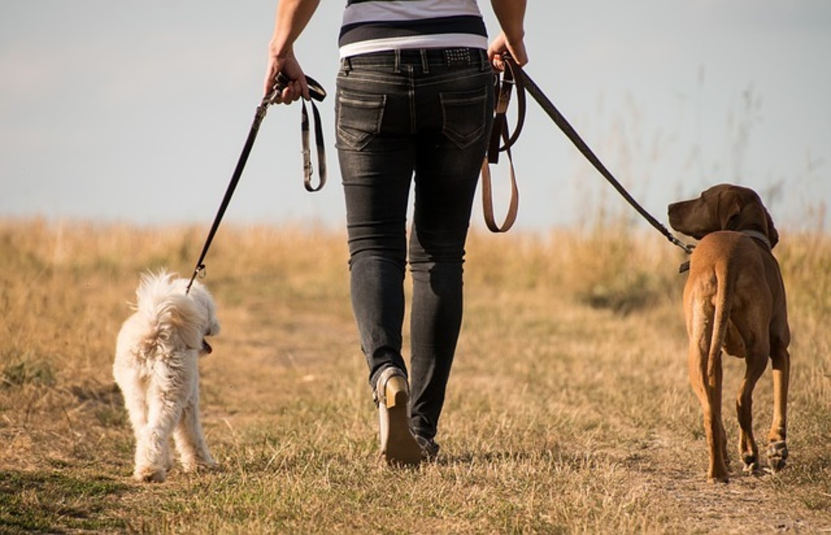7 Tips on How to Walk Two Dogs Together