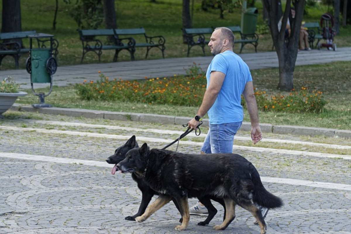 A gentleman walking two dogs on one side using one hand