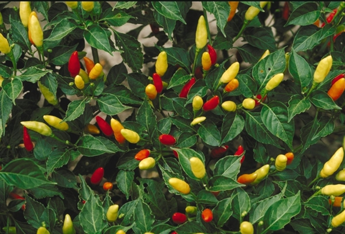 Tabasco peppers are quite harmless as long as they remain unpicked.