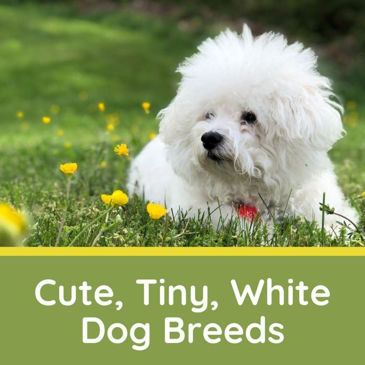 5 Really Cute, Small, White Dog Breeds