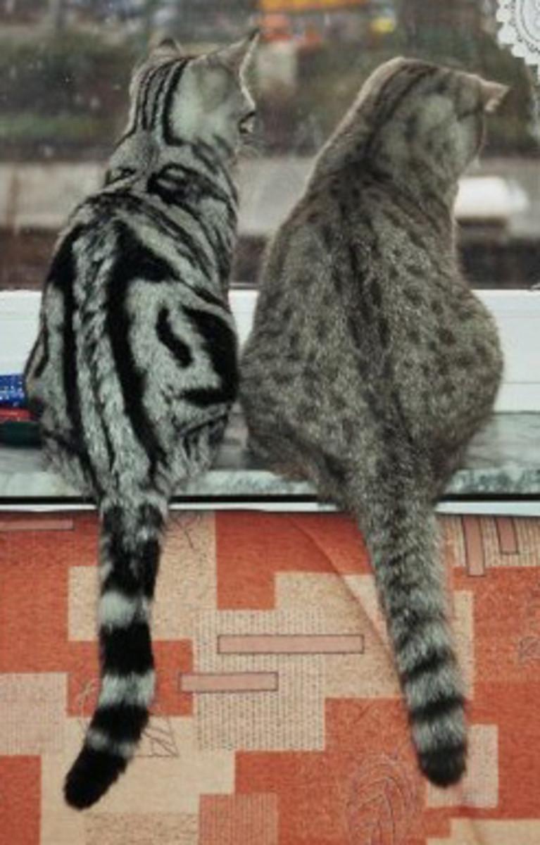 Some indoor cats spray despite being neutered.