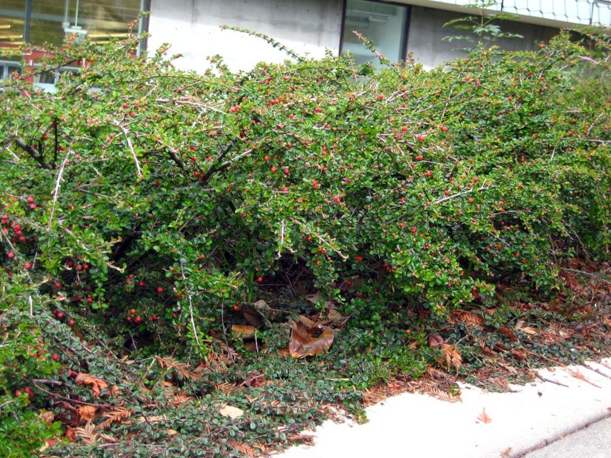 10-evergreen-ground-cover-plants