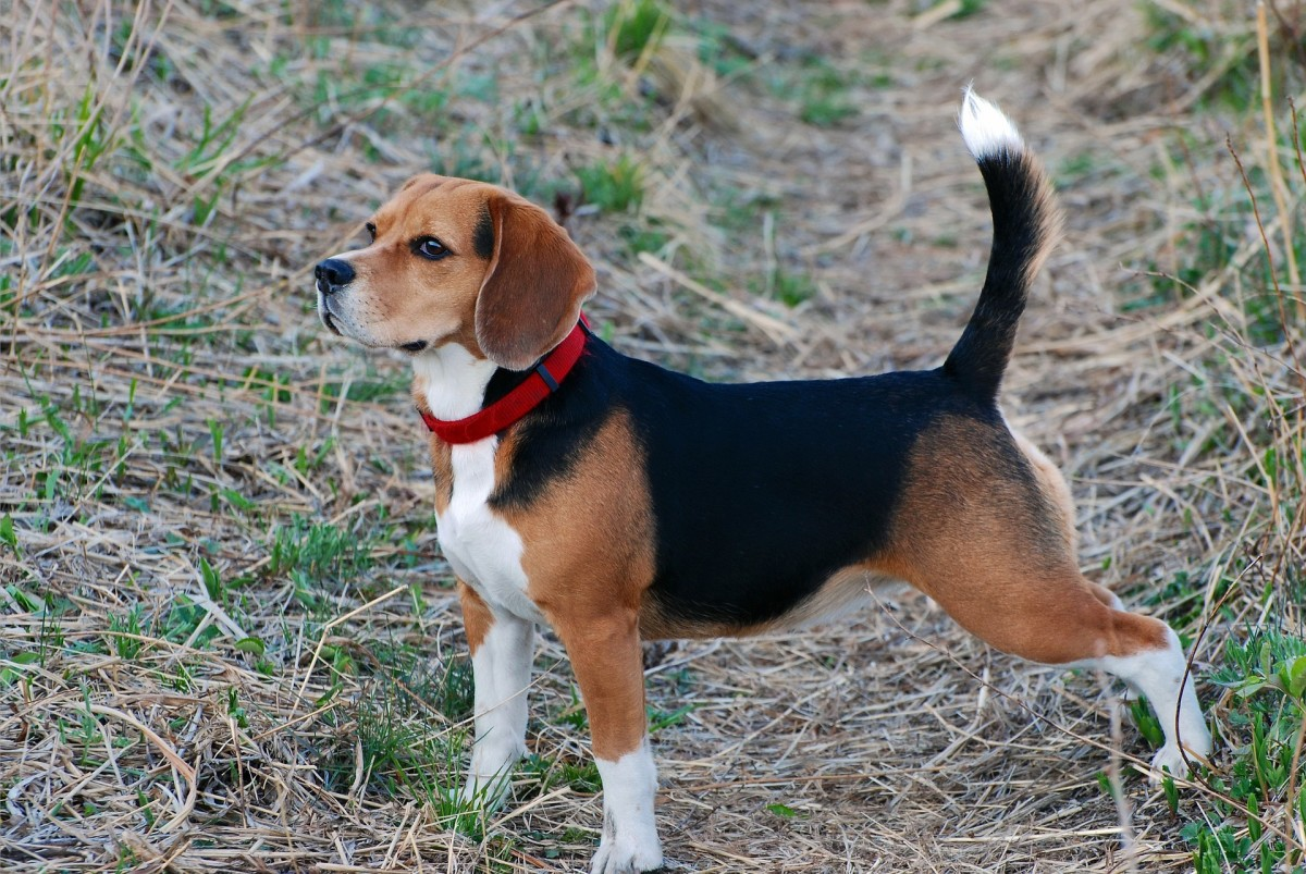 A dog's tail has many functions, such as helping them communicate with other dogs and maintain their balance.