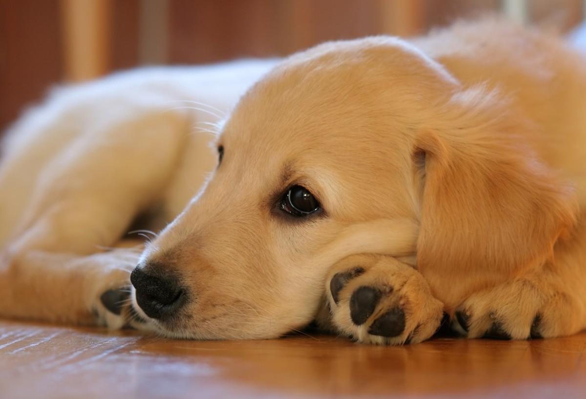 A Golden Retriever puppy looking, well, golden!