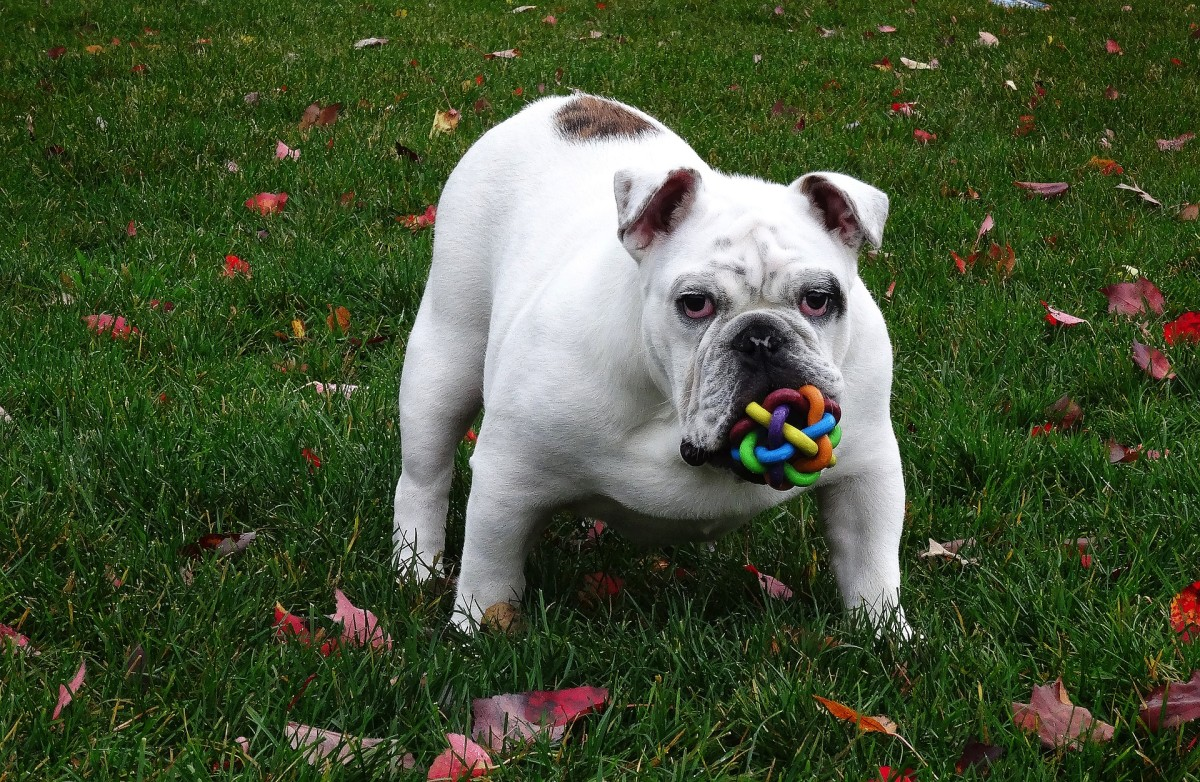 The English Bulldog almost made this list due to its worldwide popularity.