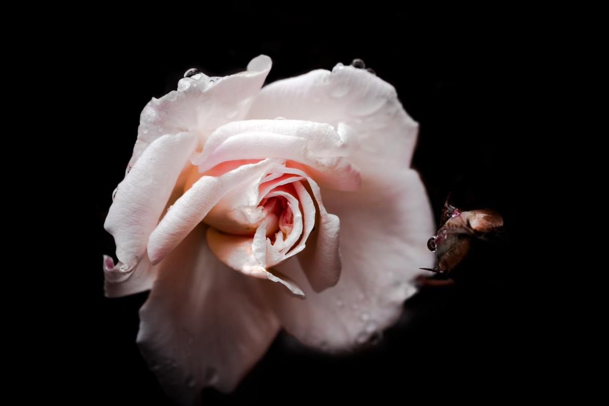 Pink rose petals work well for love spells and cleansing.