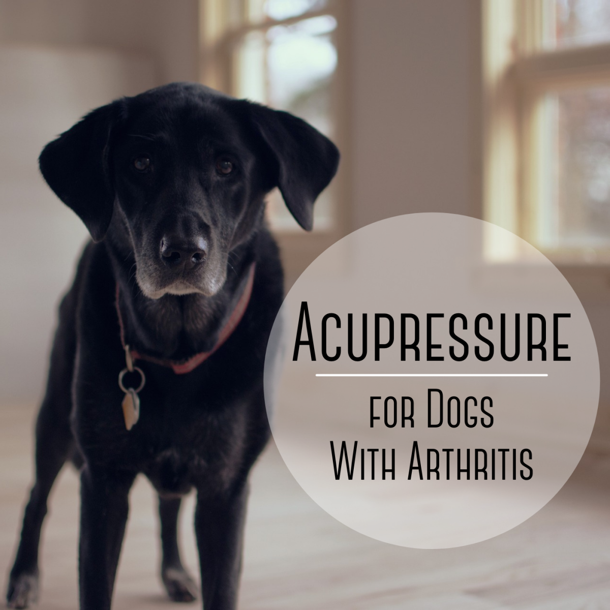 Acupressure can help some older dogs deal with the pain of arthritis.