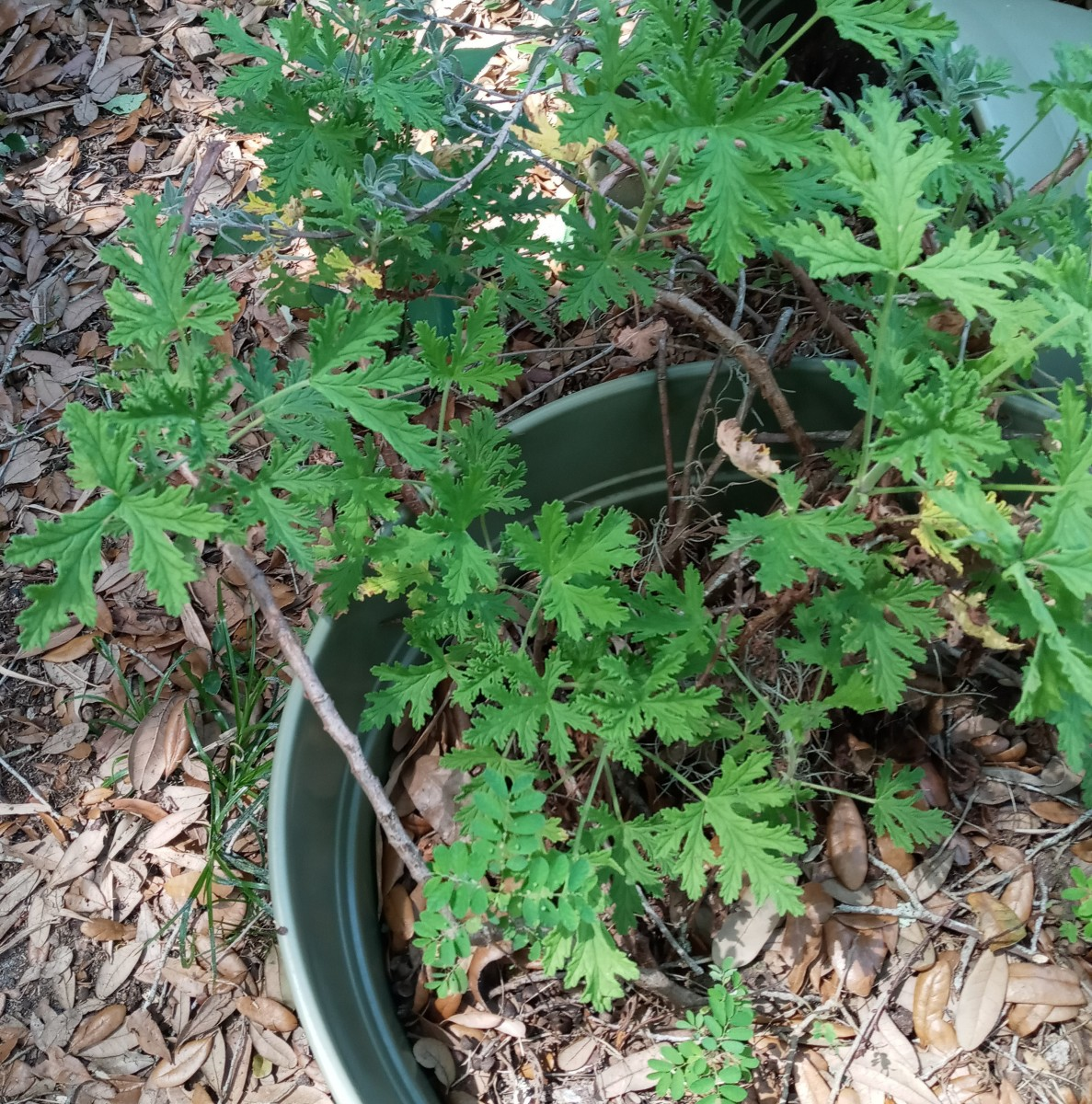 Growing Citrosa Geranium  ~~ Is It Really a Mosquito Repellent Plant ?