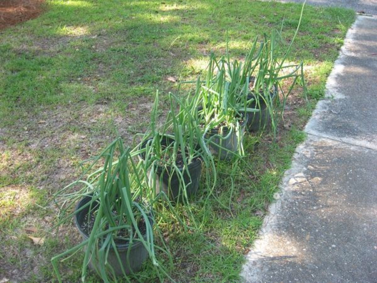 You can grow onions in containers too.