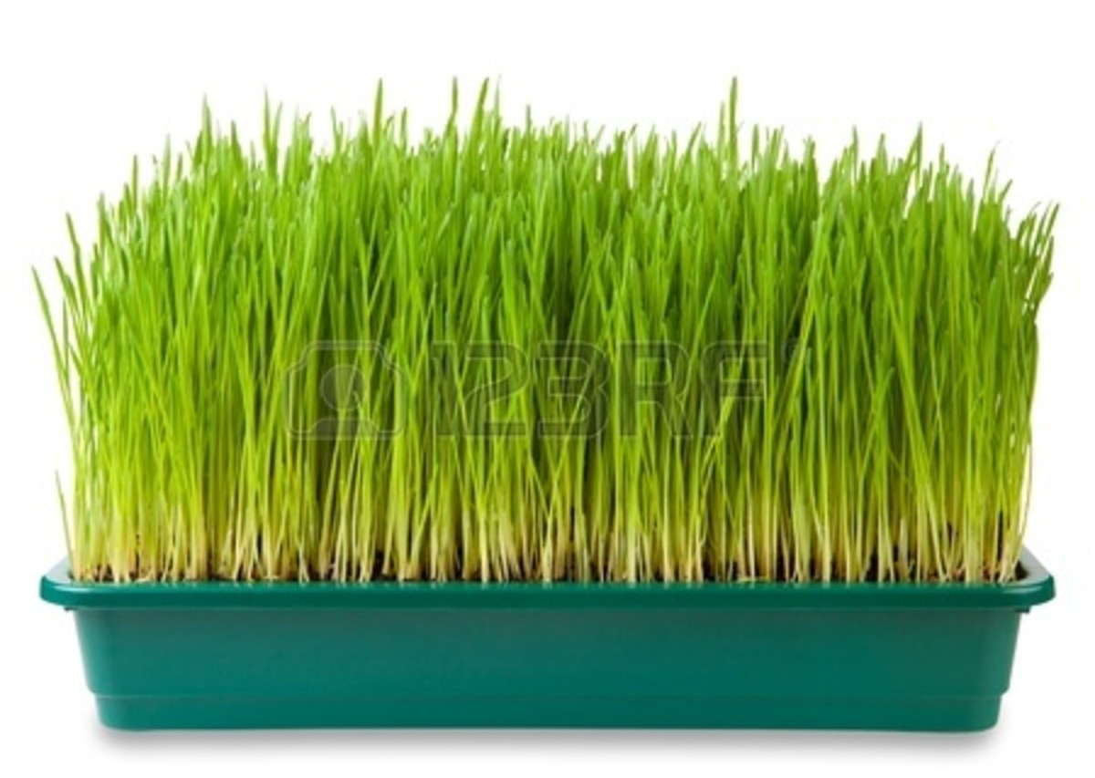 Take fresh Wheat Grass