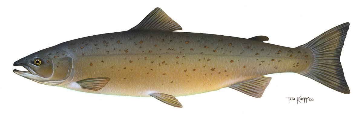 Health Benefits Of Salmon Fish