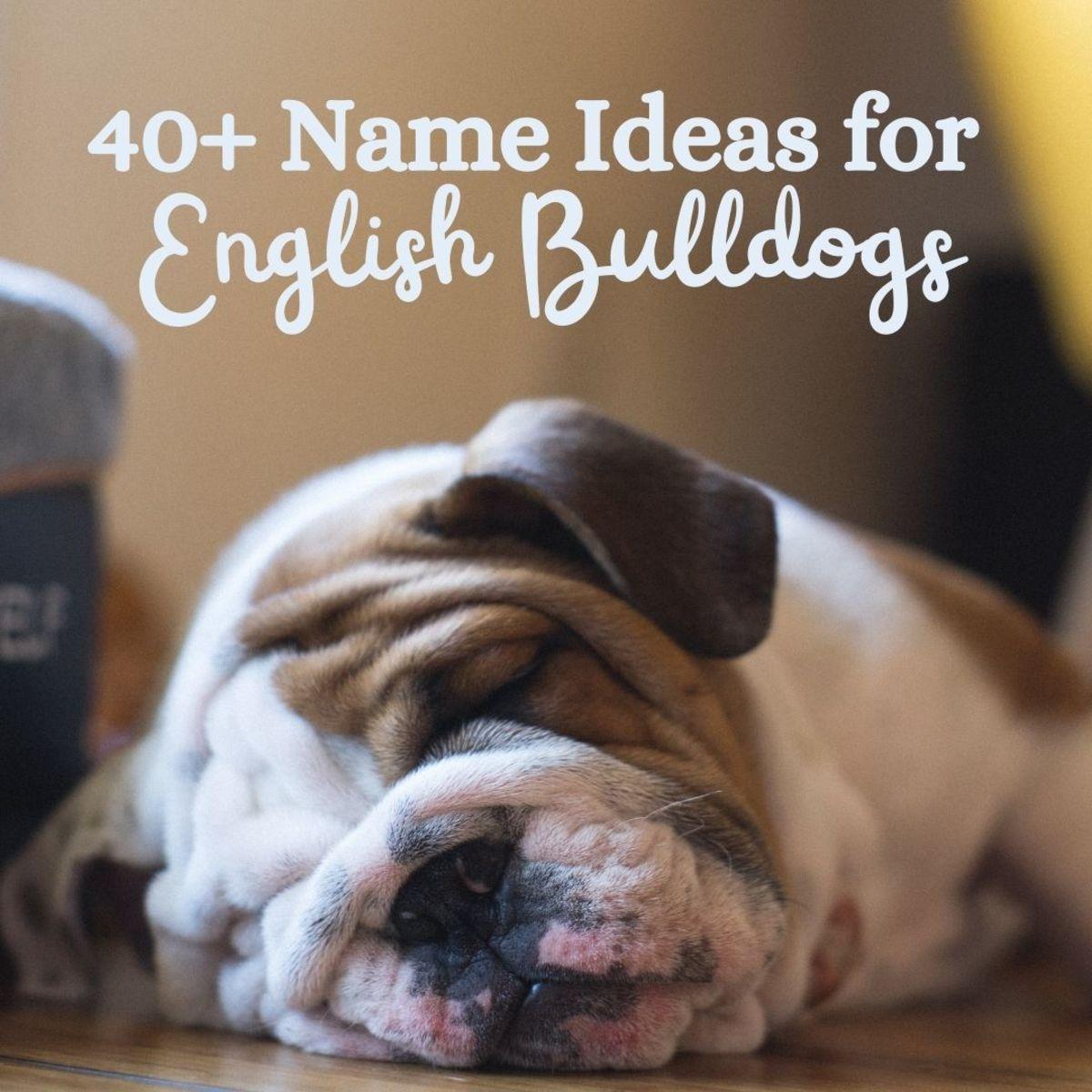 What should you name your English Bulldog?