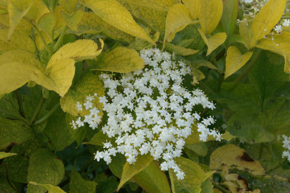 These beautifully fragrant elderflowers can be made into fritters.