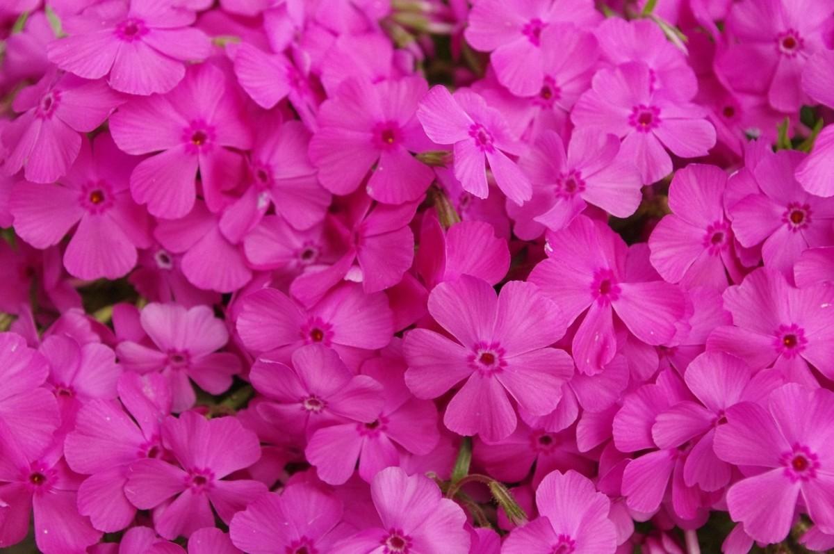Moss Pink.