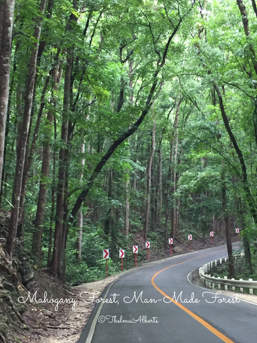Mahogany Forest, one of the tourist attractions in Bohol.