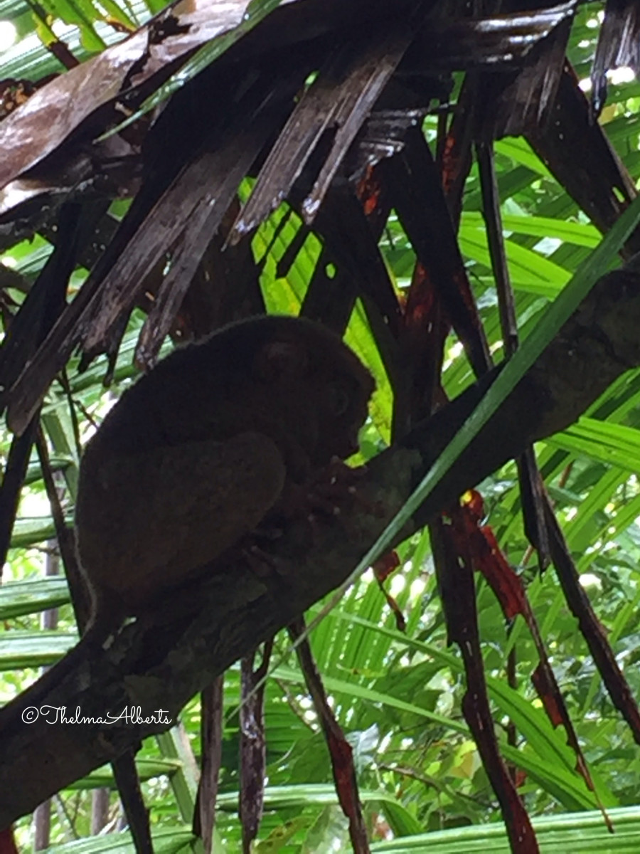 Another Tarsier hiding in the Sanctuary.