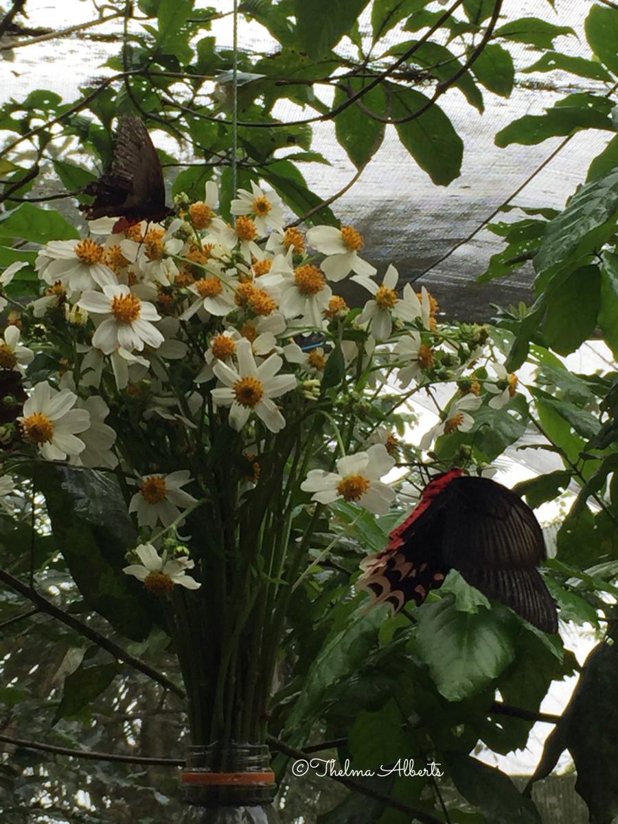Feeding the butterflies at the Habitat Butterflies Conservation Center in Bohol.