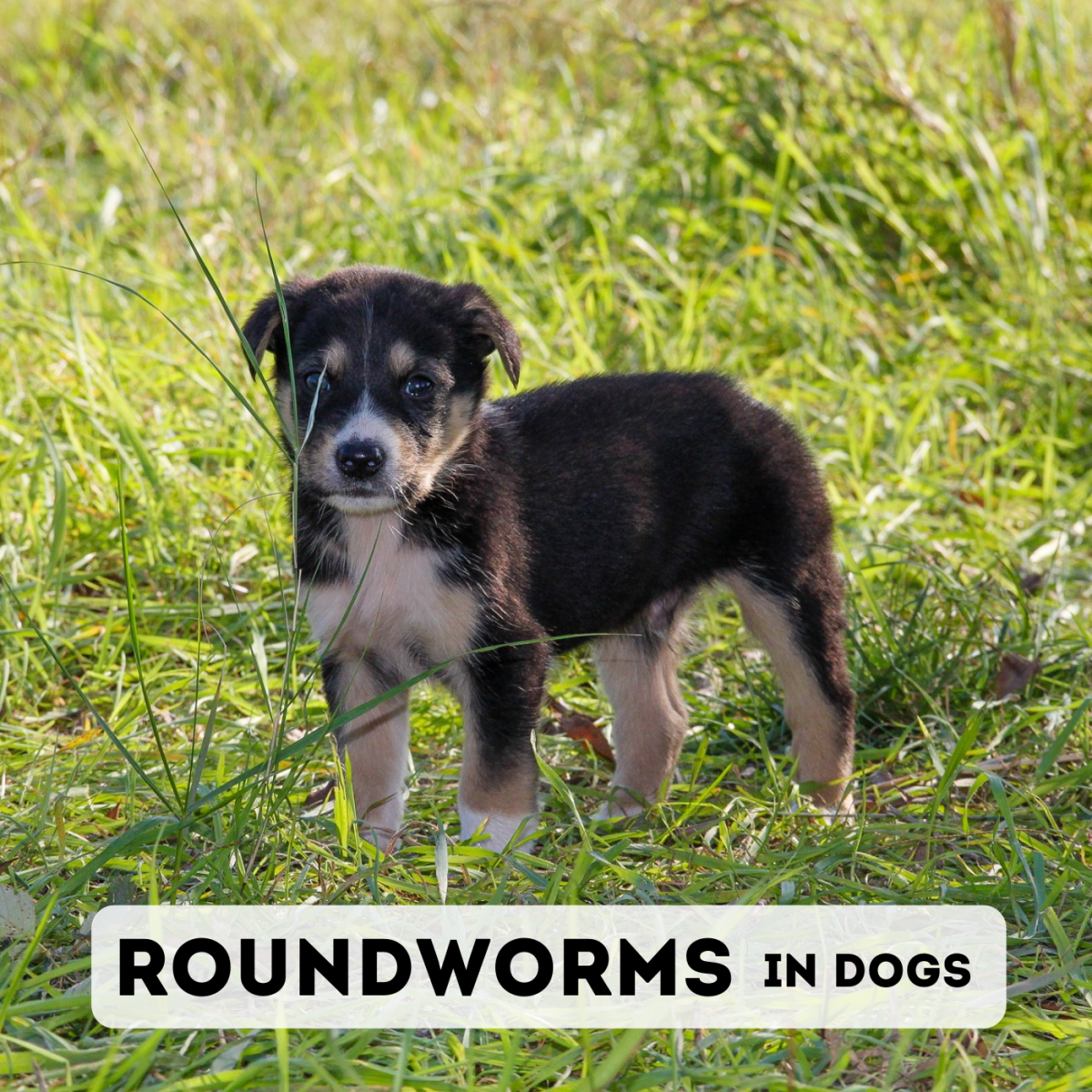 Learn about the species of roundworms that affect dogs, as well as the symptoms and treatment of an infestation.
