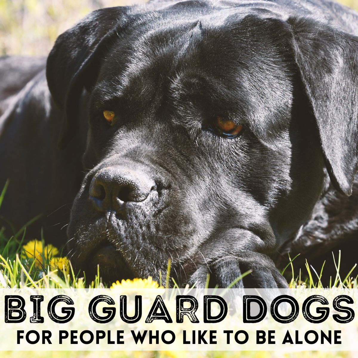 Want to be left alone? Large guard dogs, like this Cane Corso, may make unwanted visitors think twice.