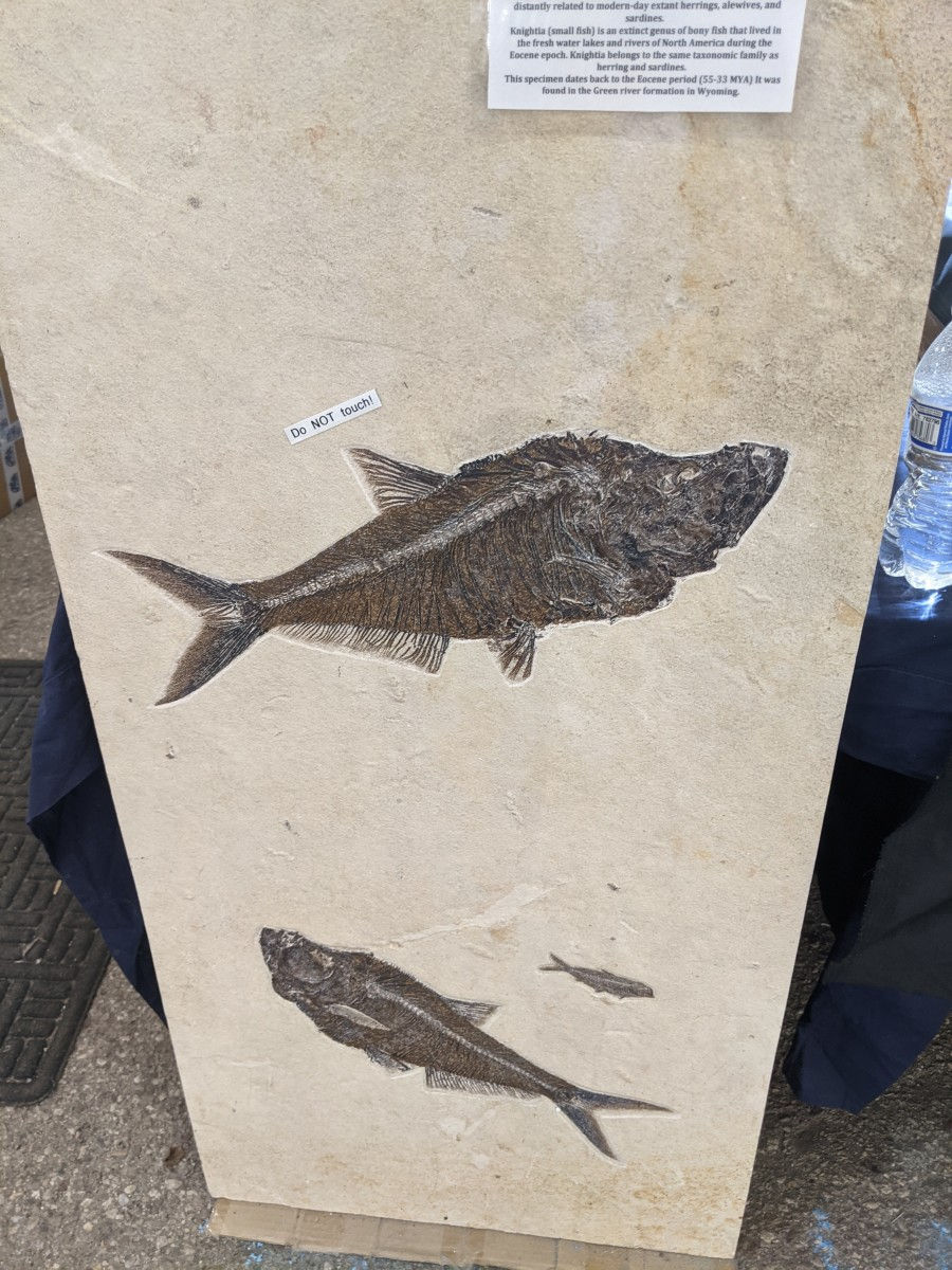 Fossils of three ancient fish.  Large one is an ancestor of today's sardines & herrings.  Two smaller ones are extinct ancient North American freshwater fish.  Don't know if the 3 were embodied in the same sandstone or were mounted in plaster.