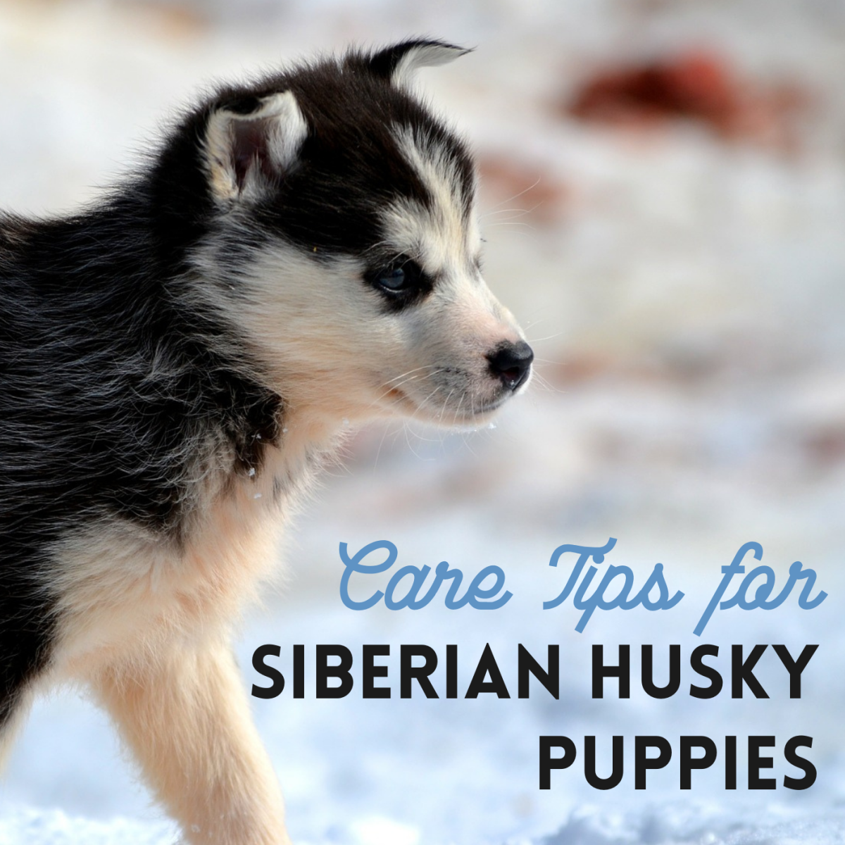 Get advice on training and caring for your new husky puppy.