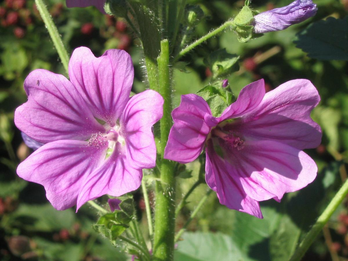 Common Mallow -Medicinal Plants