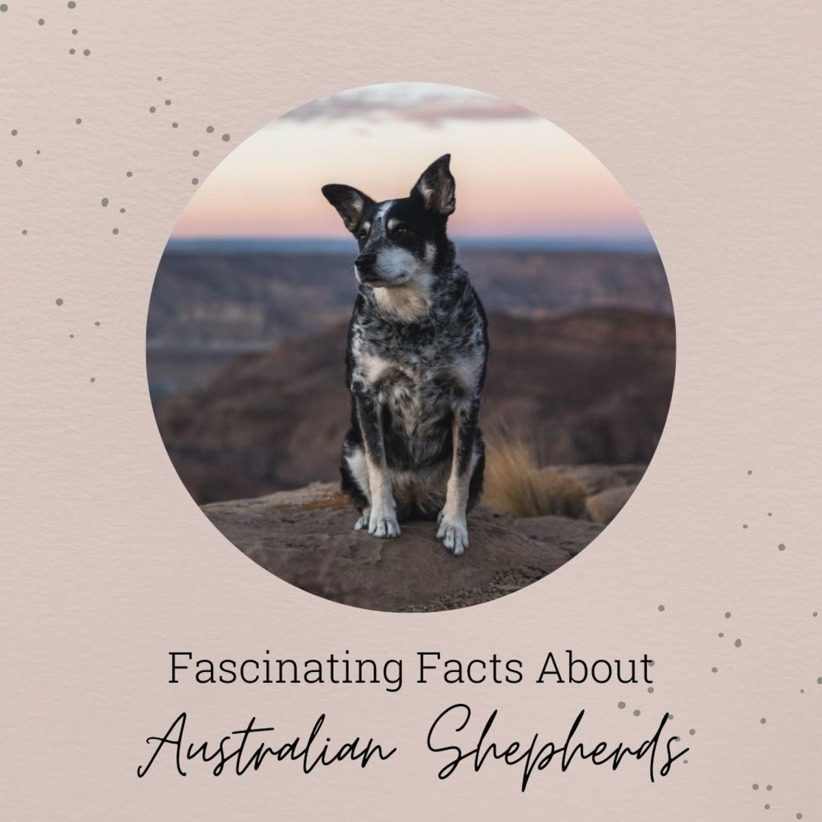 All about the Australian Shepherd breed, including interesting facts you may not know