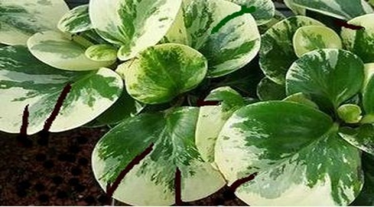 Why Are the Leaves of Your Peperomia Splitting?