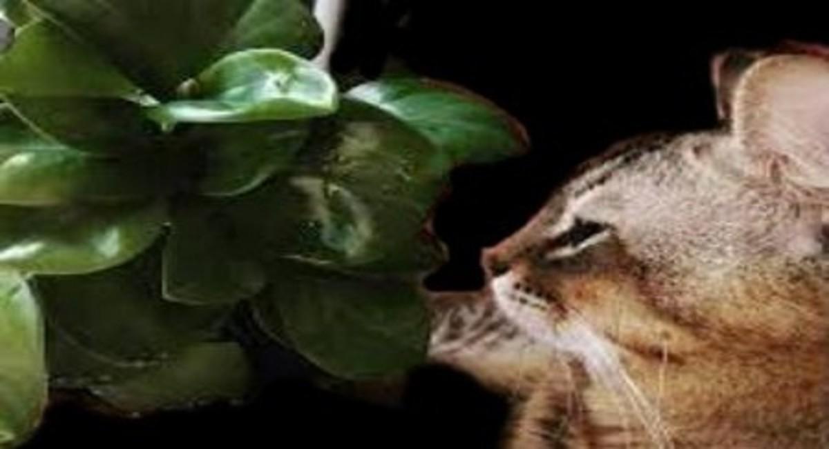 Cat Near Peperomia